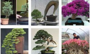 なんで #盆栽 よりも #bonsai が多いの