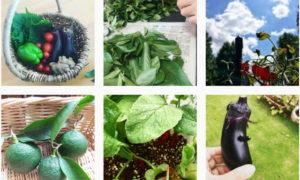 収穫が楽しみ #家庭菜園