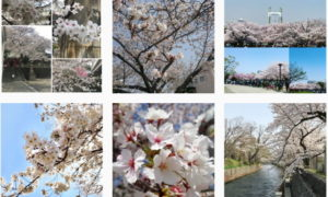 お花見 #桜