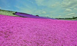 春の訪れ #芝桜